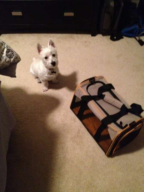 Traveling With Westie
