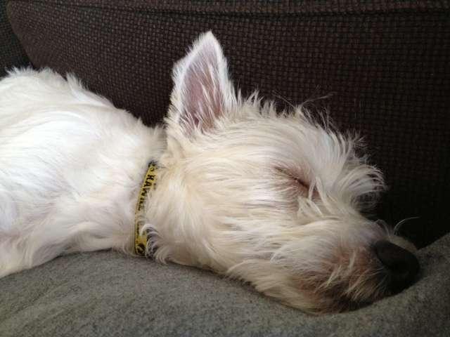 Westie Sleeping