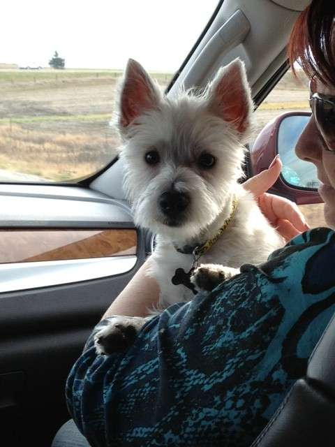 Traveling With A Westie