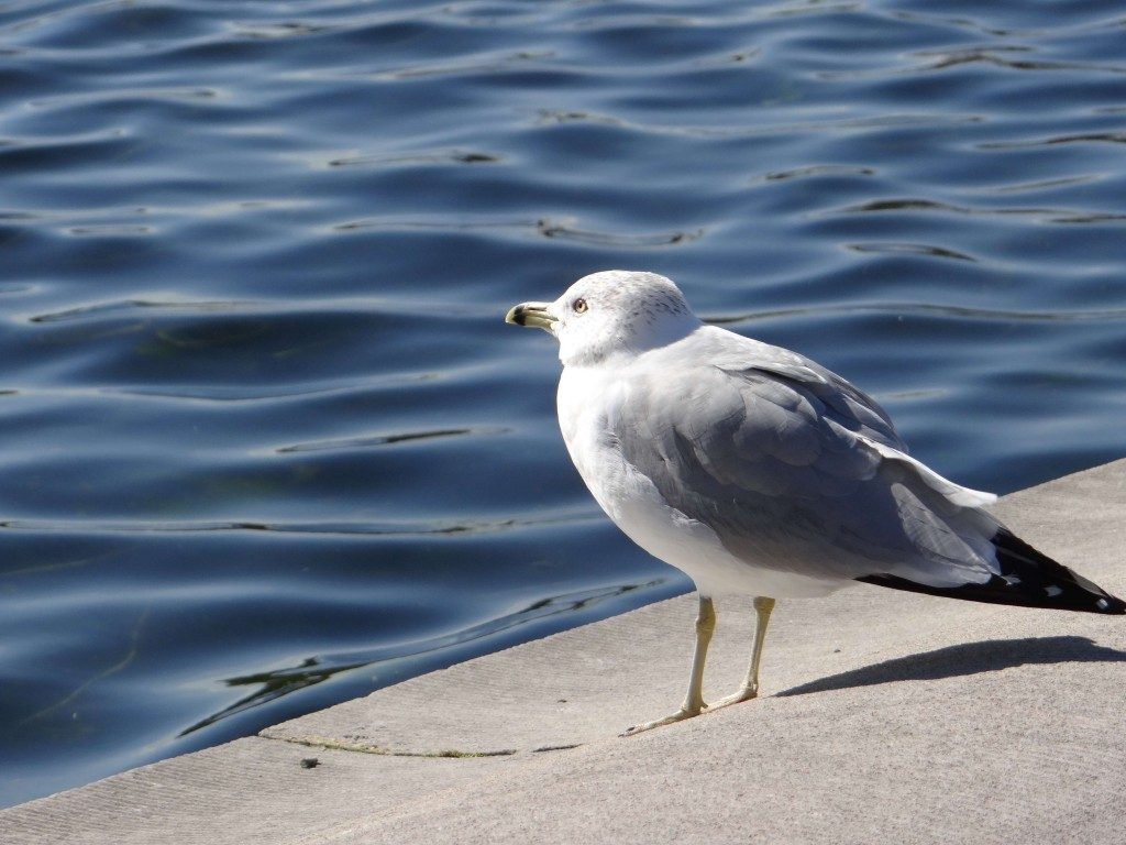 Seagull at Capitol