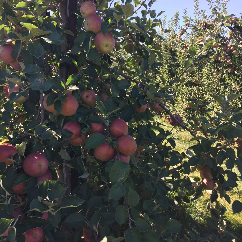 Picking Apples at Baugher's Orchard