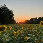 Poolesville McKee-Beshers Sunflower Fields