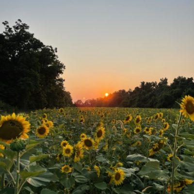 Poolesville McKee Beshers Sunflower Field